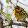 Cape May Warbler @ Magee Marsh - May 2014