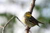 Cape May Warbler @ Magee Marsh Wildlife Area - May 2009