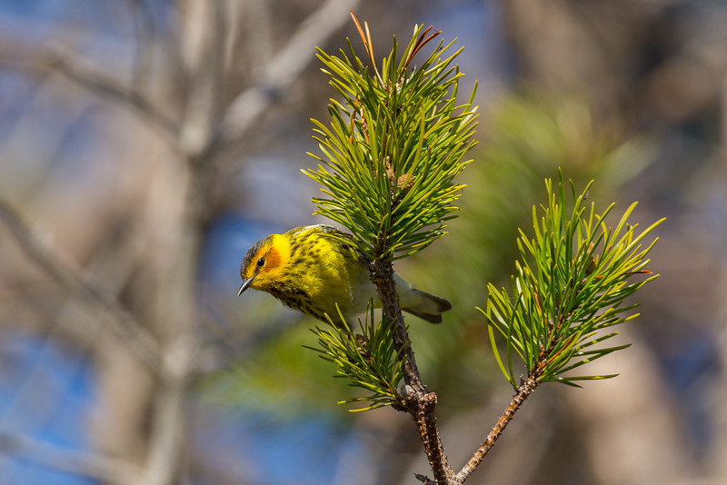 Cape May Warbler Photo