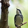 Cerulean Warbler @ Clear Creek Metro Park - May 2013