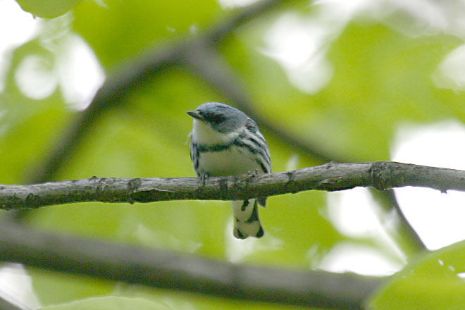 Cerulean Warbler @ Scioto Trails State Park - May, 2005