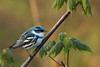 Cerulean Warbler @ Shawnee State Forest - April 2009