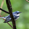 Cerulean Warbler @ Shawnee State Forest - April 2012