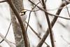 5-16-14 Chestnut-sided Warbler 1
