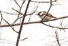 5-16-14 Chestnut-sided Warbler 4