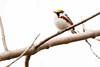 5-16-14 Chestnut-sided Warbler 3