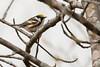 5-16-14 Chestnut-sided Warbler 2