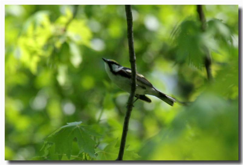 5-19-07 Chestnut Sided Warbler