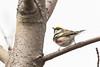 5-16-14 Chestnut-sided Warbler 5