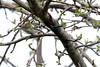 5-17-14 Chestnut-sided Warbler 1