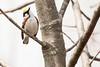 5-16-14 Chestnut-sided Warbler 6