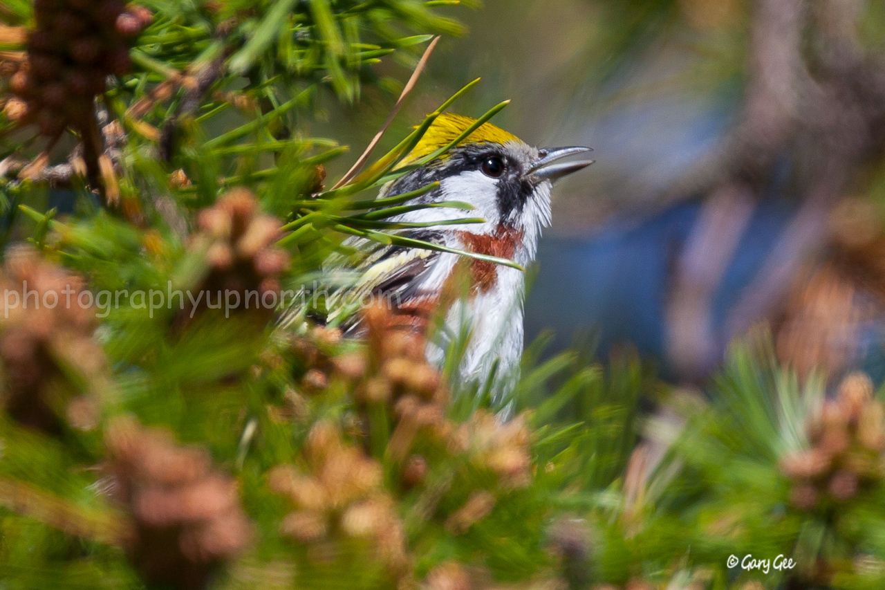Chestnut-Sided Warbler sings from a jack pine branch