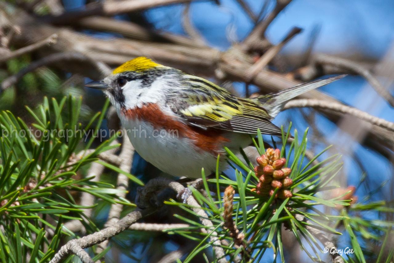 Chestnut-Sided Warbler in a jack pine