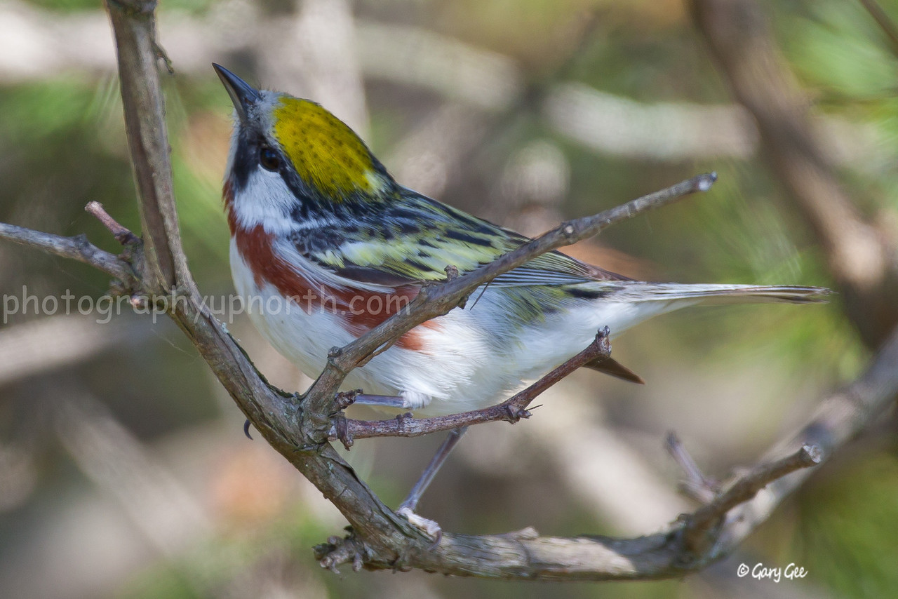 Chestnut-Sided Warbler in the shade looking for the next branch to hop to....
