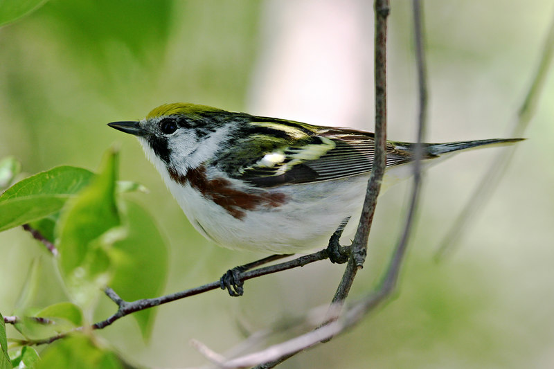 Cheastnut-sideed Warbler @ Magee Marsh - May 2006