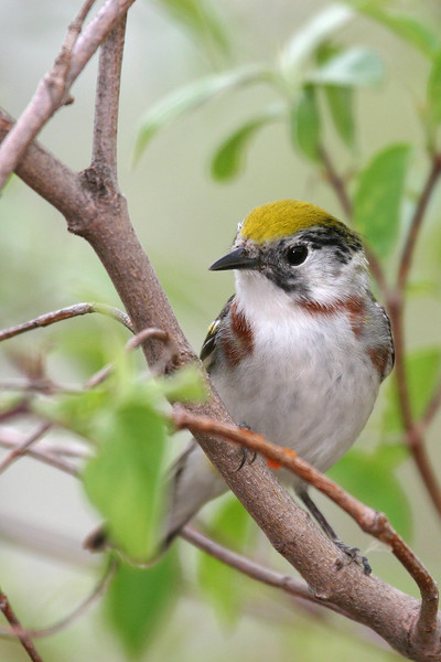 Chestnut-Sided Warbler @ Magee Marsh - May 2007