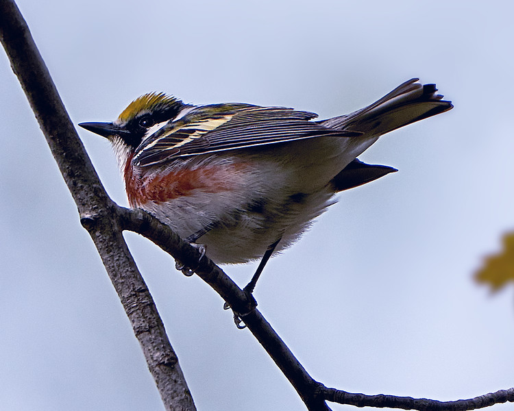 Chestnut-sided Warbler perched high up in the tree