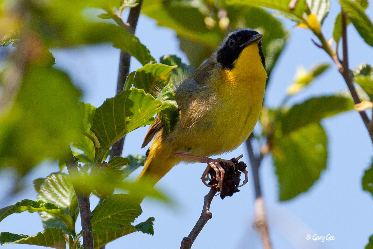 Common Yellow-Throat Warbler