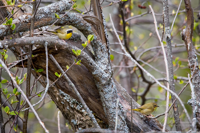 Common Yellow Throat Warbler Male & Female