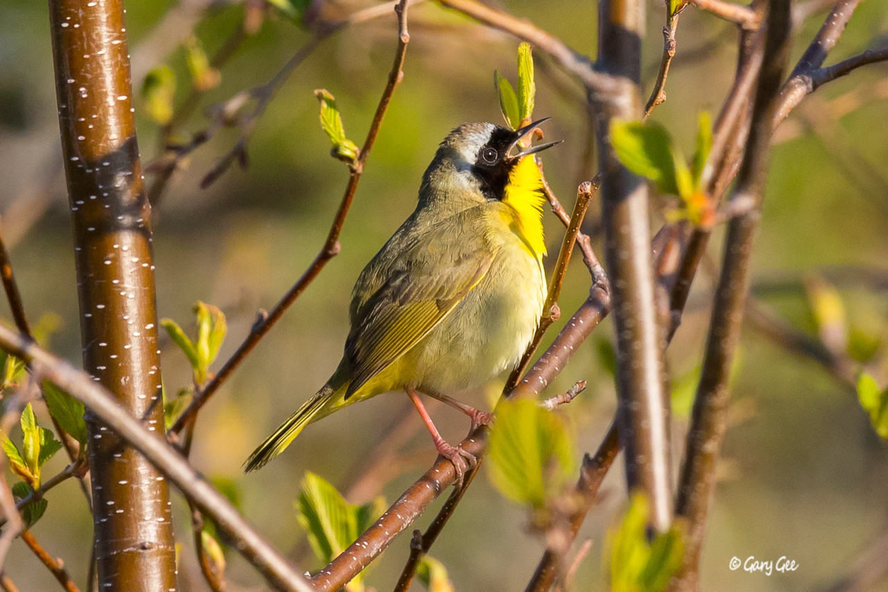 Common Yellowthroat in the bright morning light