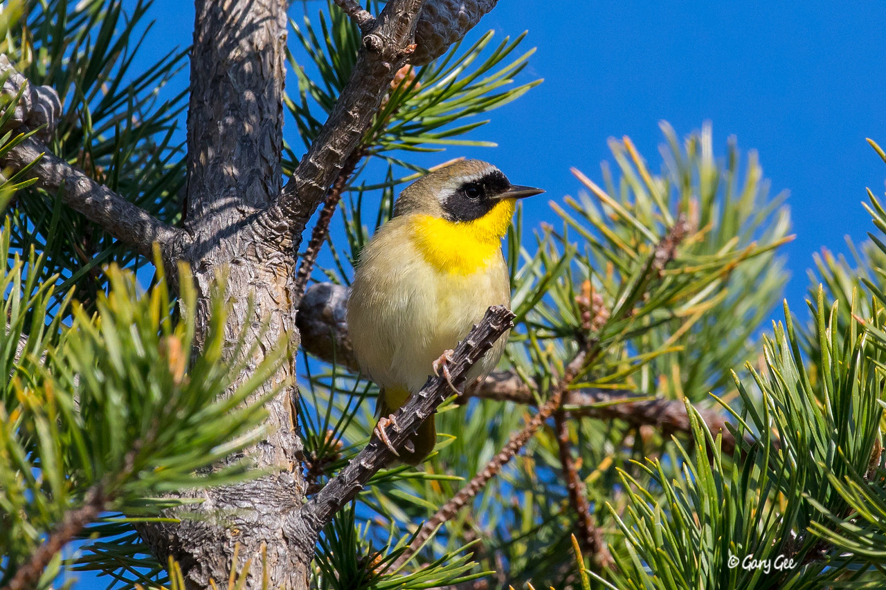 Common Yellowthroat Tawas Point May 2017