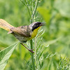 Common Yellowthroat @ Huffman Prairie Flying Field - July 2018
