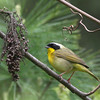 Common Yellowthroat @ Hocking Co. - May 2012