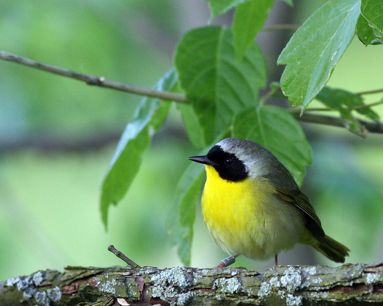 Common Yellowthroat Warbler @ Adams County - April 2012