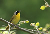 Common Yellowthroat @ Huddleland (Hocking Hills) OH - May 2010