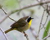 Common Yellowthroat @ Magee Marsh WA - May 2010