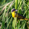 Common Yellowthroat Warbler @ The Wilds, June 2016