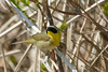 Common Yellowthroat @ Magee Marsh - May 2007
