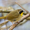 Common Yellowthroat  Warbler @ Magee Marsh SP, May 2016