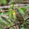 Common Yellowthroat @ Magee Marsh - May 2014