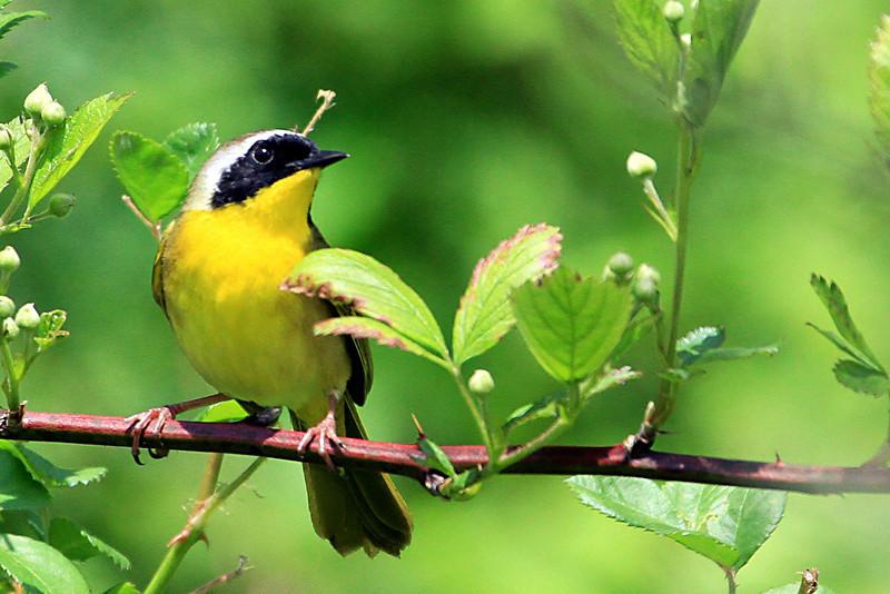 Common Yellowthroat @ Huddleland (Hocking Hills) OH - May 2010