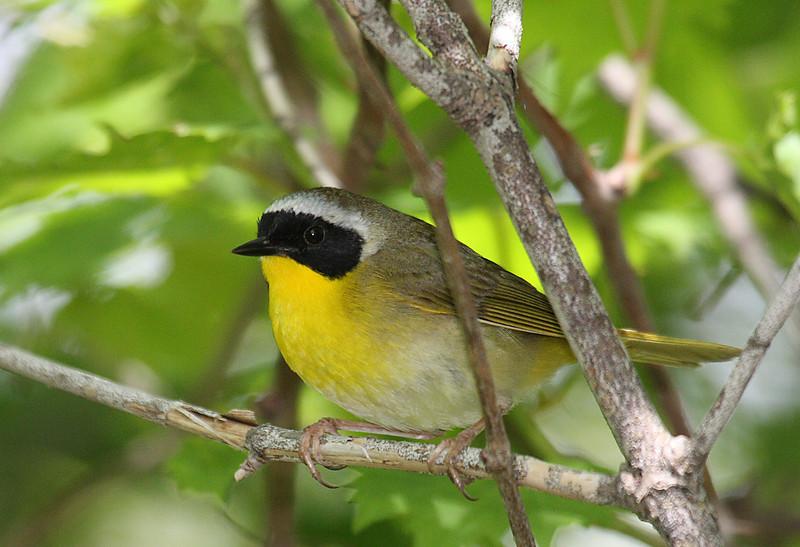 Common Yellowthroat Warbler @ Magee Marsh - May 2008