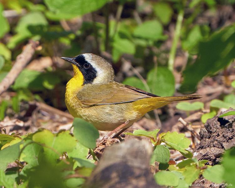 2020513 – Common Yellowthroat (Geothlypis trichas)