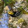 Golden-cheeked Warbler @ Kowalik Park Medina County, TX - Mar 2018