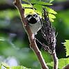 Golden-winged Warbler @ Magee Marsh WA - May 2010