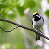 Golden-winged Warbler - Presque Isle County, MI, May 2016