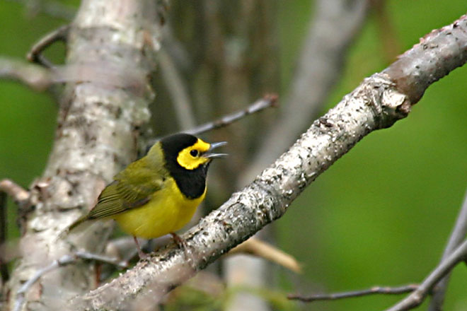 Hooded Warbler @ Scioto Trails State Park - May 2005