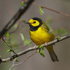 Hooded Warbler @ Shawnee State Park - April 2014
