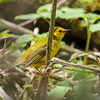 Hooded Warbler (Female) @ Magee Marsh, May 2016