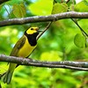 Hooded Warbler @ Scioto Co, OH April 2017