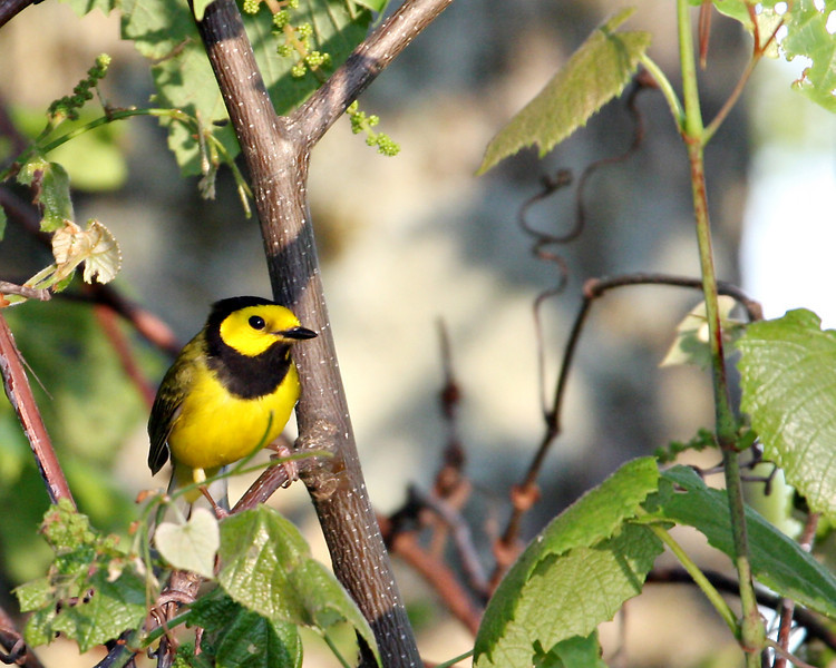Hooded Warbler @ Shawnee State Forest. OH - May 2010