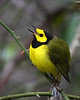 Hooded Warbler @ Great Smokey Mountains - May 2008