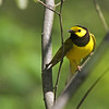 Hooded Warbler @ Scioto Trail SP - May 2013