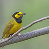 Hooded Warbler @ Hocking Co - May 2015