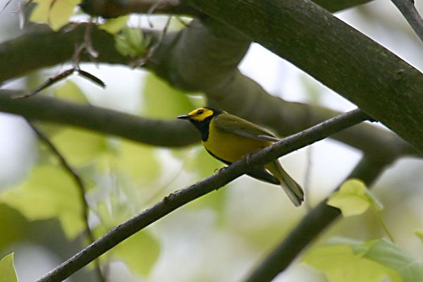 Hooded Warbler @ Scioto Trails - May 2005
