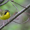 Kentucky Warbler @ Scioto Trails State Park - May 2009